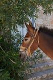 Retrato bonito do cavalo na ilha do Hydra Imagens de Stock