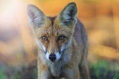 Retrato bonito do Fox no nascer do sol com ponto quente ensolarado Imagem de Stock
