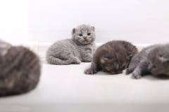 Retrato bonito do gatinho de Ingleses Shorthair Foto de Stock Royalty Free