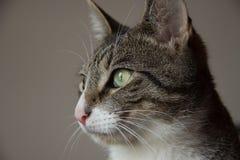 Retrato bonito do gato de gato malhado cinzento imagem de stock