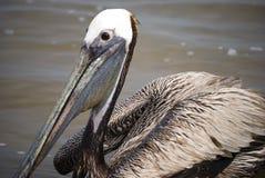 Retrato bonito do pelicano Fotografia de Stock