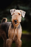 Retrato bonito do terrier do Airedale Fotografia de Stock Royalty Free