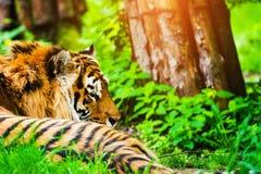 Retrato bonito do tigre de amur fotos de stock royalty free