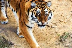 Retrato bonito do tigre de amur fotografia de stock