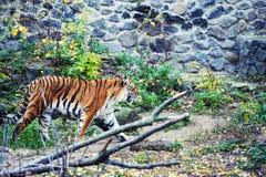 Retrato bonito do tigre de amur imagem de stock royalty free