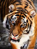Retrato bonito do tigre de amur foto de stock