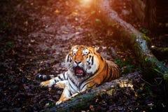 Retrato bonito do tigre de amur imagens de stock