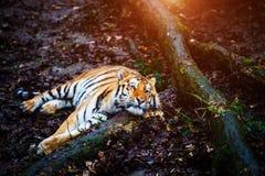 Retrato bonito do tigre de amur imagens de stock royalty free