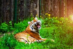Retrato bonito do tigre de amur imagem de stock