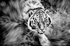 Retrato bonito do tigre de amur fotos de stock