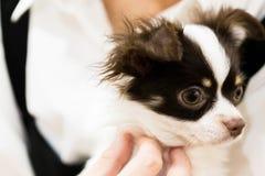 Retrato bonito preto e branco do cachorrinho Imagem de Stock