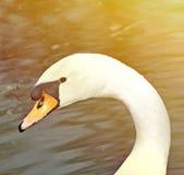 Retrato branco bonito da cisne fotos de stock royalty free