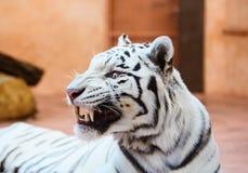 Retrato branco bonito do tigre imagens de stock royalty free