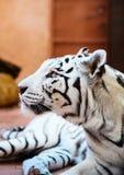 Retrato branco bonito do tigre imagem de stock royalty free