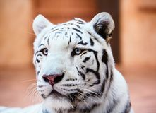 Retrato branco bonito do tigre fotos de stock
