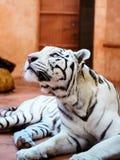 Retrato branco bonito do tigre imagens de stock