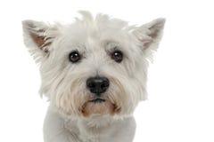 Retrato branco branco de Terrier de montanhas ocidentais no estúdio da foto Foto de Stock