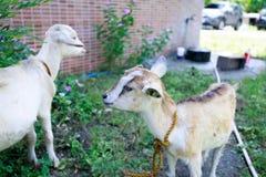 Retrato branco da cabra Foto de Stock