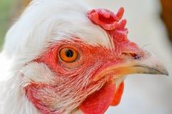 Retrato branco da galinha Imagens de Stock Royalty Free