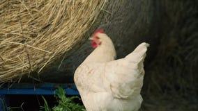 Retrato branco da galinha com hey rolo no fundo vídeos de arquivo