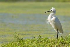 Retrato branco da garça-real do egret Imagem de Stock