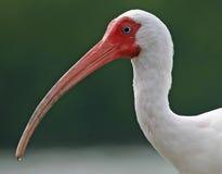 Retrato branco de ibis fotografia de stock
