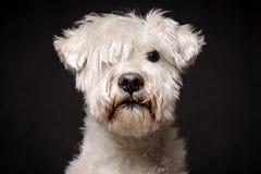 Retrato branco do cão do schnauzer foto de stock royalty free