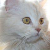 Retrato branco do gato foto de stock royalty free
