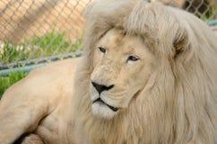 Retrato branco do leão Fotos de Stock Royalty Free