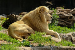Retrato branco do leão Fotos de Stock