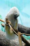 Retrato branco do papagaio no azul Imagem de Stock