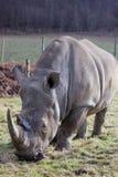 Retrato branco do rinoceronte Fotos de Stock Royalty Free