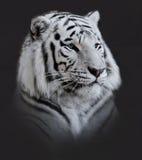 Retrato branco do tigre Imagem de Stock Royalty Free