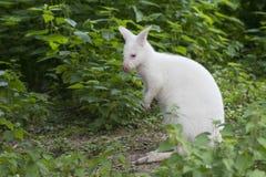 Retrato branco do ualabi Imagem de Stock Royalty Free