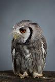 Retrato branco-enfrentado do norte do estúdio dos leucotis de Ptilopsis da coruja Fotos de Stock