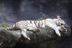 Retrato branco grande do fim-acima do tigre Foto de Stock Royalty Free