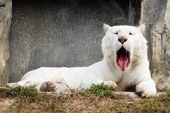 Retrato branco sonolento do tigre Fotografia de Stock