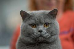 Retrato británico del azul del gato imagenes de archivo