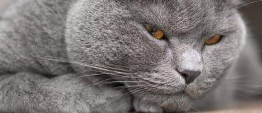 Retrato británico del gato imagen de archivo libre de regalías