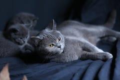 Retrato británico del gato de Shorthair Fotos de archivo libres de regalías