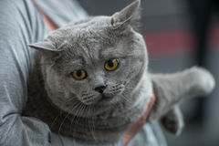 Retrato britânico do azul do gato Imagens de Stock