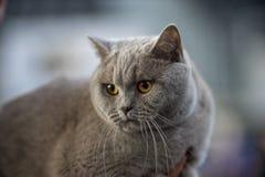 Retrato britânico do azul do gato Imagem de Stock Royalty Free