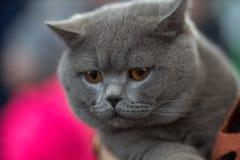 Retrato britânico do azul do gato Imagem de Stock