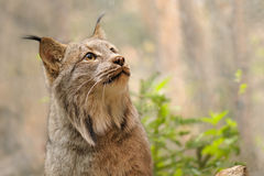 Retrato canadense do lince Imagem de Stock Royalty Free