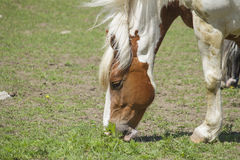 Retrato canadiense del caballo Fotos de archivo