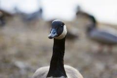 Retrato canadiense del ganso Fotos de archivo libres de regalías