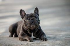 Retrato canino de un dogo francés gris que sienta y que presta la atención imagen de archivo