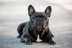 Retrato canino del dogo francés que se sienta afuera en el pavimento Tirado en luz natural foto de archivo libre de regalías