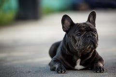 Retrato canino del dogo franc?s que se sienta afuera en el pavimento Tirado en luz natural foto de archivo libre de regalías
