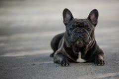 Retrato canino del dogo franc?s que se sienta afuera en el pavimento Tirado en luz natural imagen de archivo
